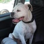 Hund_im_Auto1